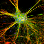 4 week old cultured rat cortical neurons labeled with MAP2 (red) and Synaptophysin (green). Nucleus labeled with DAPI (blue)