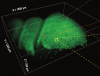 3D SCAPE imaging of olfactory epithelium